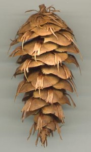 A Douglas fir tree cone.