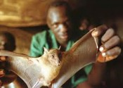 Ebola-fruit-bat-for-WEB