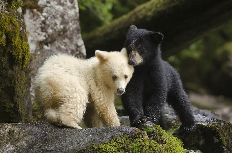 McAllister, Ian two bears for WEB