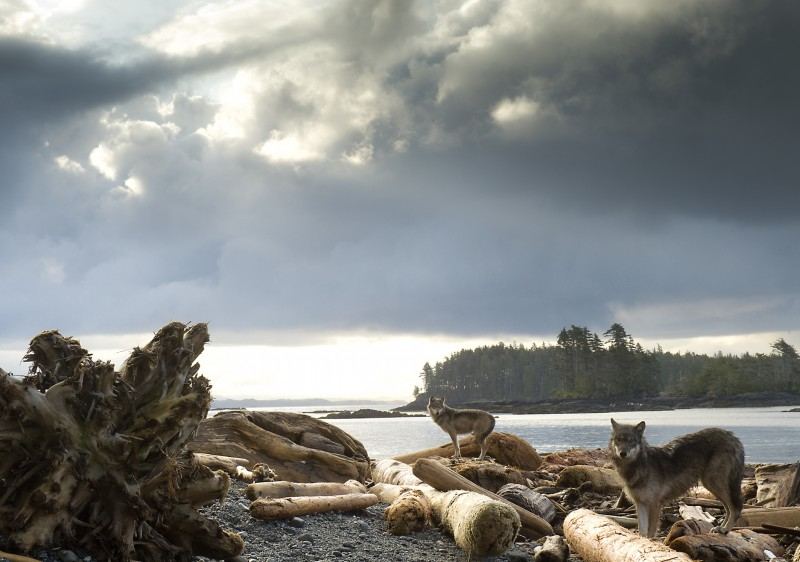 Coastal wolves exlore outer beaches of Great Bear Rainforest.