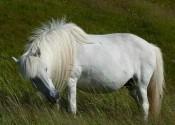 Rhenisch, Harold white horse