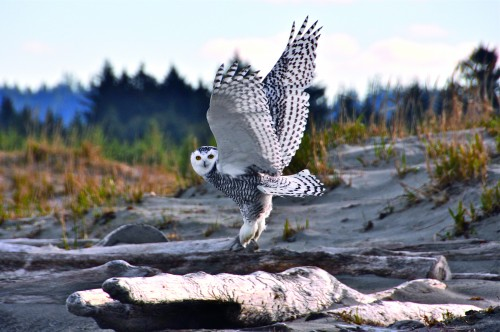 Musgrave, Susan 6 snowy owl-photo credit Guy Kimola